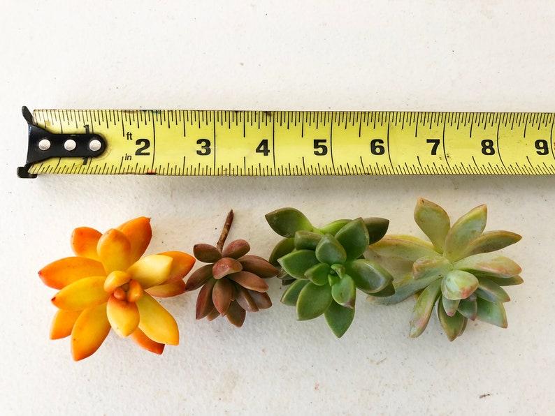 20 Colorful Succulent Cuttings