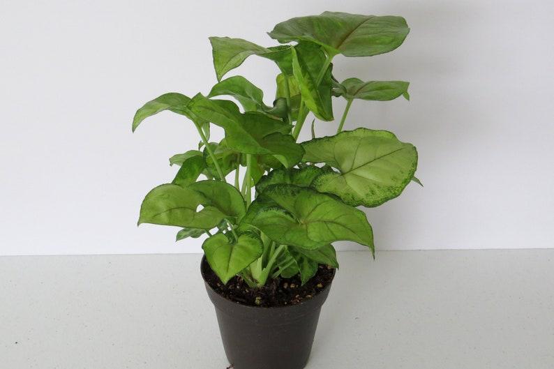 Arrowhead Plant House Plant Live Plants Terrarium Plant Etsy