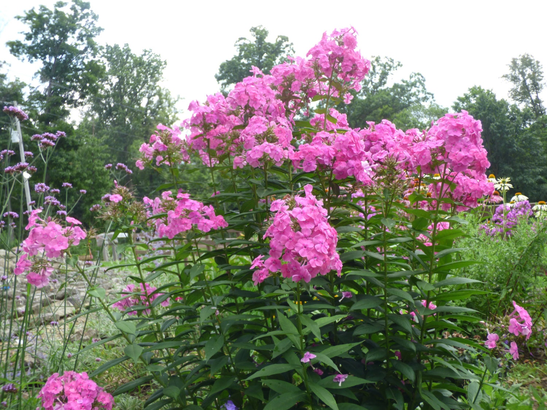 Garden Phlox Phlox Paniculata Perennials Live Plants Pink