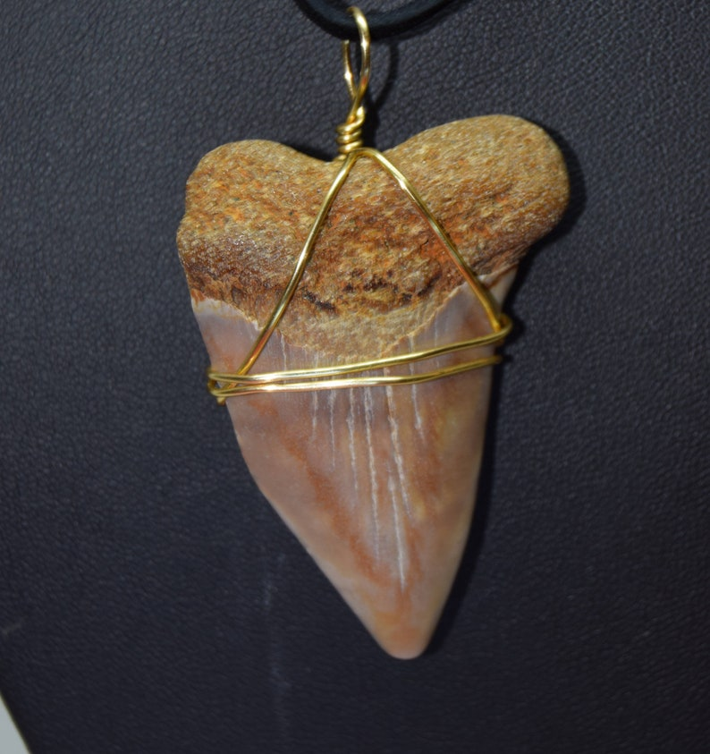 Carcharodon plicatilis fossil  Giant White shark tooth image 0