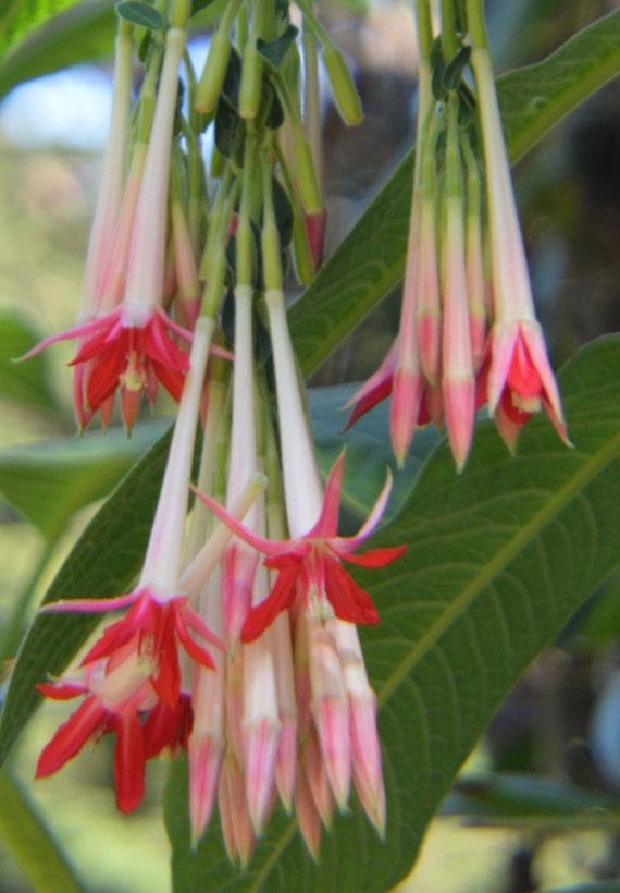 Fuchsia Paniculata Spectacular Shrubby Fuchsia Unbelievably Rare Limited 2 Seeds