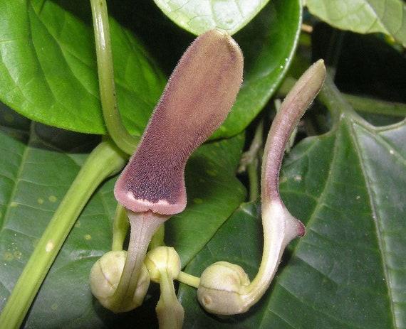 Aristolochia coryi 10 Seeds