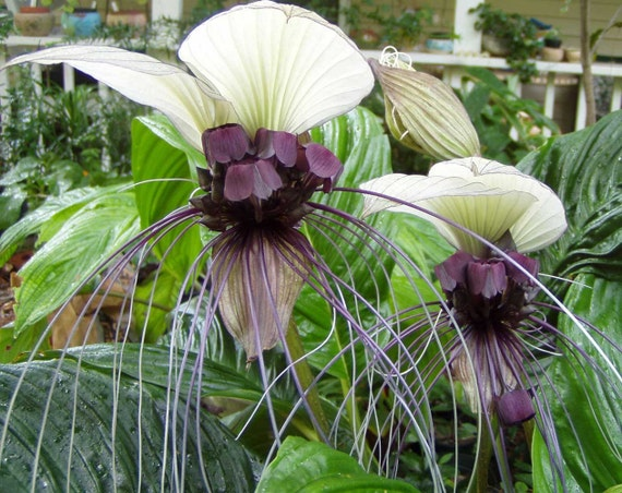 Tacca Integrifolia White Bat Flower 20seeds Etsy