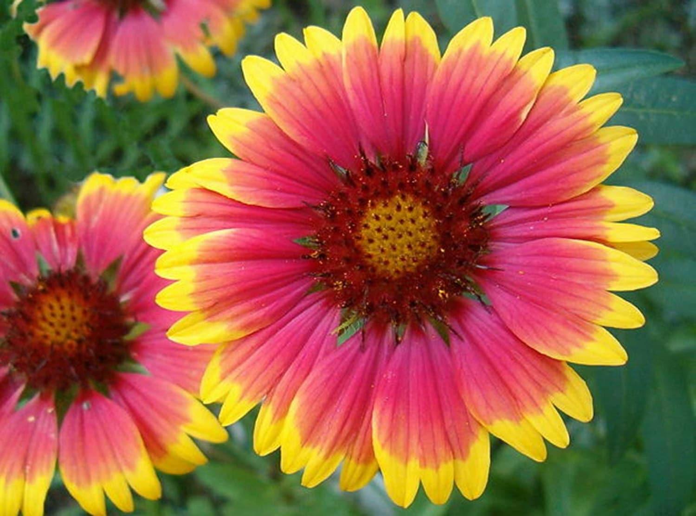 Gaillardia Aristata Bremen Indian Blanket Flower 50seeds Etsy
