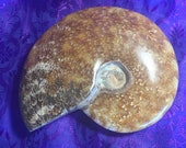 Beautiful Ammonite Fossil...