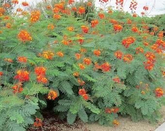 Organic Red bird of paradise seeds