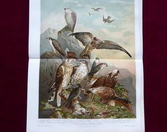 Chromolithograph German birds of prey