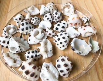 30 Beautiful Hawaiian Drupe Shell Pieces (Surf Tumbled, All Natural, Kona Coast, Hawaii Sea Shells, Jewelry Making Shells) 18022704