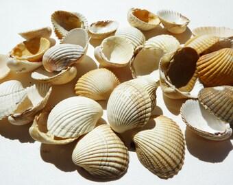 Set of 35 natural shells size medium