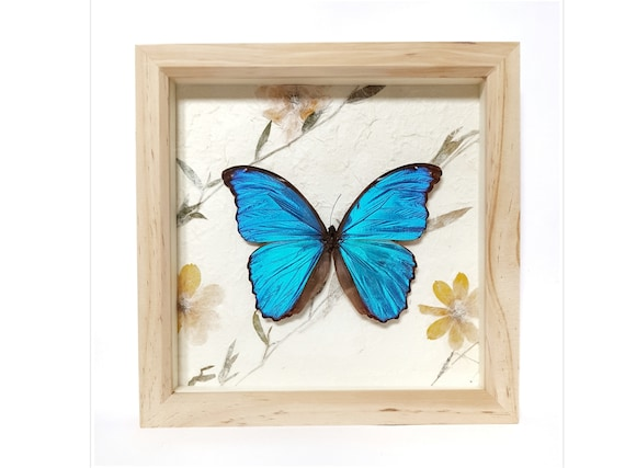 Real framed giant blue morpho butterfly butterflies on natural | Etsy