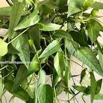 LONG STARTER PLANTS  'Cebu Blue' Pothos + Free Plant Cutting! Epipremnum pinnatum cebu blue cuttings Plant Birthday Gift Idea