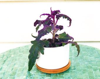 LIVE PLANT Purple Passion/Purple Velvet Plant (Gynura aurantiaca) Live Plant/Cuttings + FREE Gift cutting!