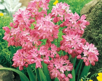 RARE 5 Alpine 'Rosy Bells' Bulbs + Free Cutting! Pink Lily Leek Bulbs Allium Oreophilum Pink Allium Bulbs Pink Lily Bulbs Leek Bulbs