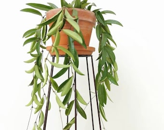 4 SIZES Hoya Wayetii Porcelain Wax Flower + Free Plant Cutting! Pink Flowers Birthday Gift Idea Live Hoya Plant Hoya kentiana hoya wax plant