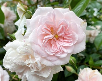 1 GAL 3' TALL Cecile Brunner Rose Plant + Free Cutting! Climbing Rose Rose Bush Rose Plant Rose Sweetheart Rose Malteser Rose Mignon Rose