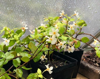 LIVE PLANT Jasmine 'Star of Toscana' Plant + FREE Gift Cutting! Jasminum toscana Trachelospermum jasminoides star of toscana