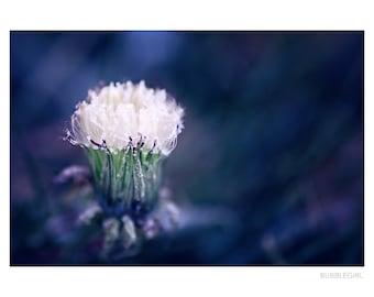 Nature Photography PRINT, Frozen Dandelion, Wall Art