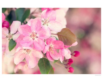 Nature Photography PRINT, Apple Blossoms - 2, Wall Art