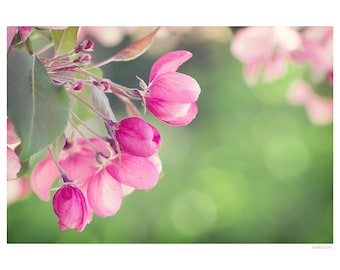 Nature Photography PRINT, Apple Blossoms - 1, Wall Art