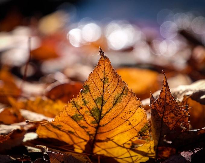Leaves, New England Photography, Autumn Photo, Fall Foliage, Large Art Print, Macro Photo