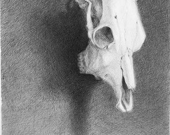 Skull Still Life ORIGINAL Ball Point PEN DRAWING