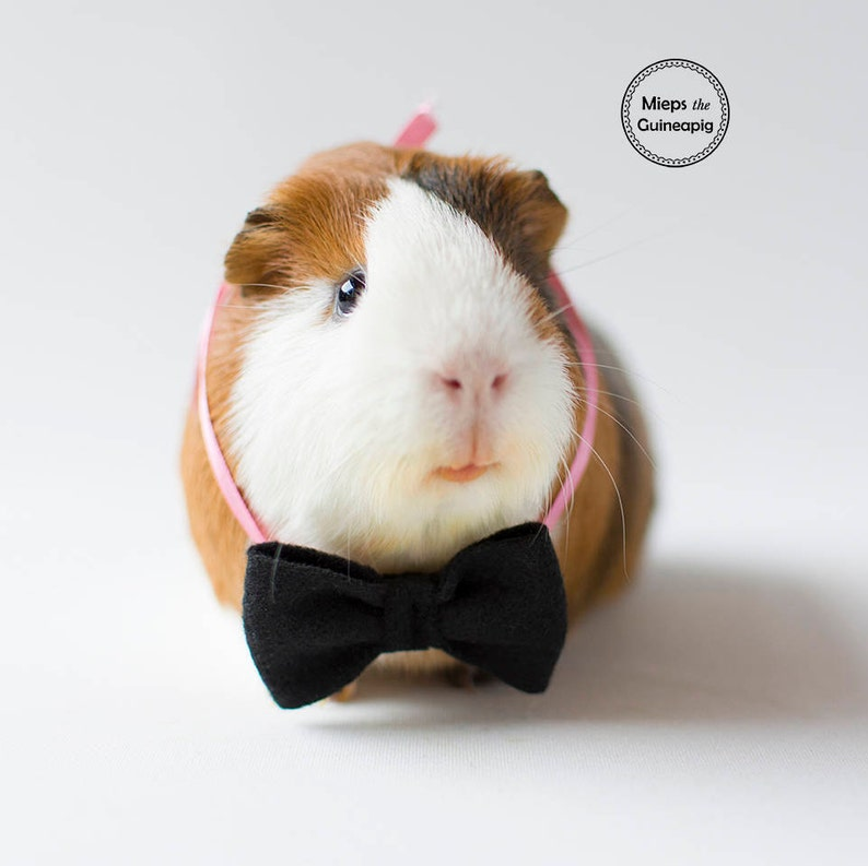 Bow tie for guinea pig