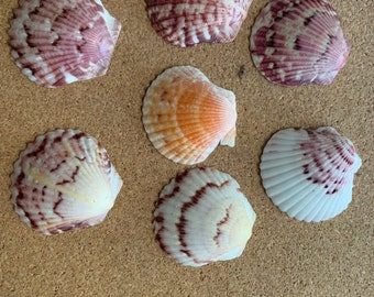 Scallop Shell Refrigerator Magnets - STRONG set of 7 Sanibel Island Shell magnets lockers, message boards, Hostess Gift or Housewarming Gift