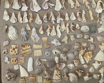 Shell Pieces for Jewelry and Crafting. Artsy Shell pieces from Sanibel Island Florida Bulk Seashells earrings necklaces