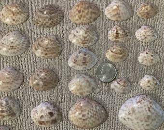 Calico Clam 36 Assorted size Sanibel Island Natural Florida Calico Clam bulk shells decorating, jewelry - Bulk Seashells Florida
