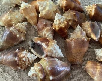 21 Fighting Conch Shells large size Bulk Shells Jewelry Craft Supply -   From Sanibel Island Florida