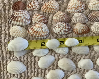 100 Shell Mix. 50 white Ark Shells and 50 brown Cardita assorted size Bulk Shells Jewelry Craft Supply -   From Sanibel Island Florida