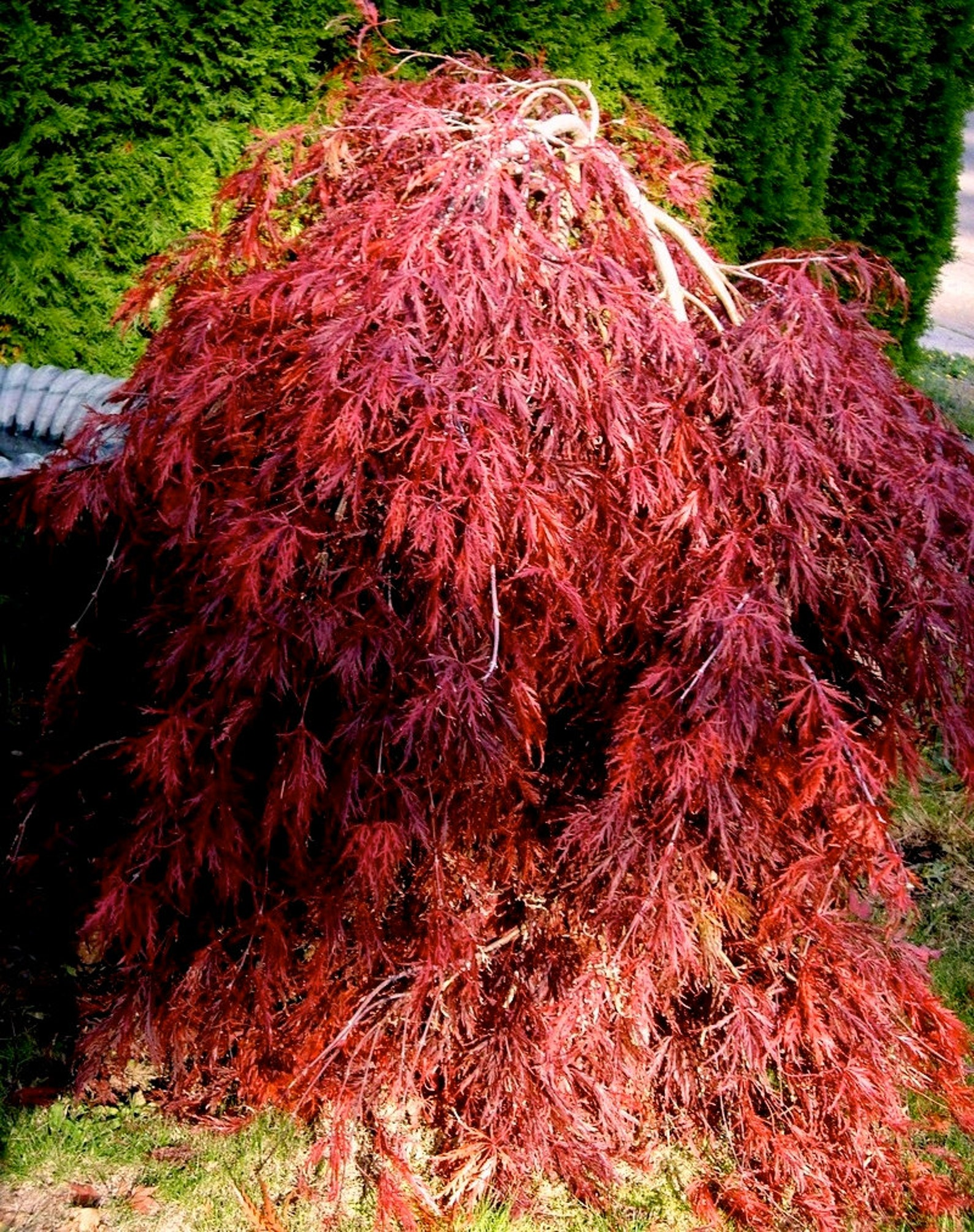 Japanese maple mature size, pussy lick story