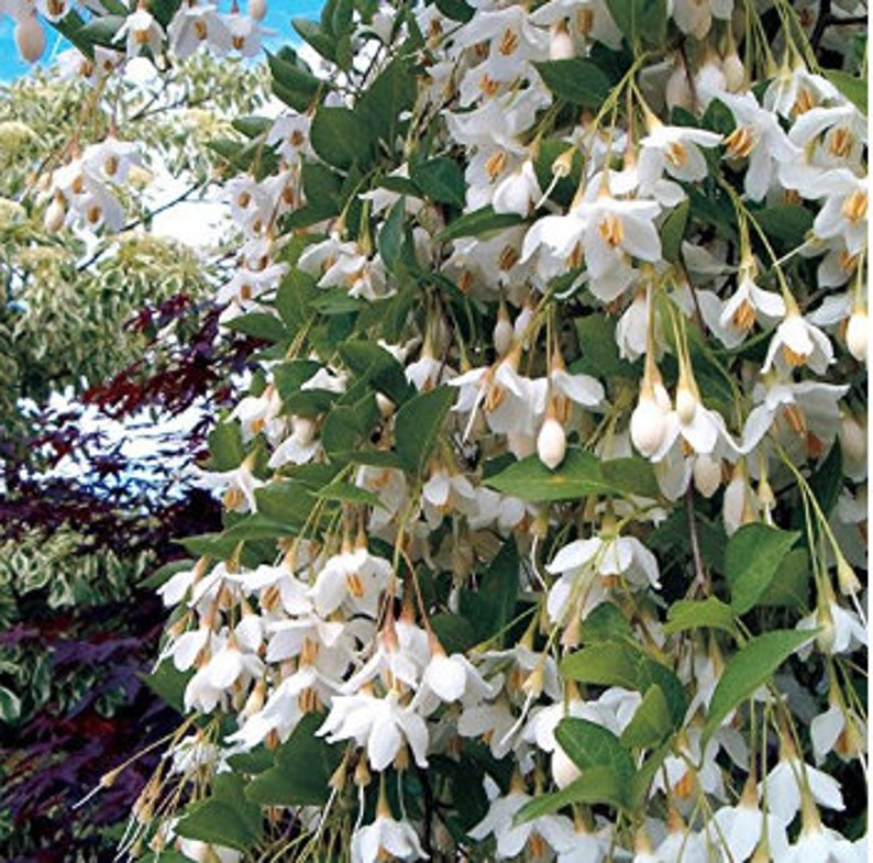 Weeping Japanese Snowbell Tree With Fragrant Flowers Etsy