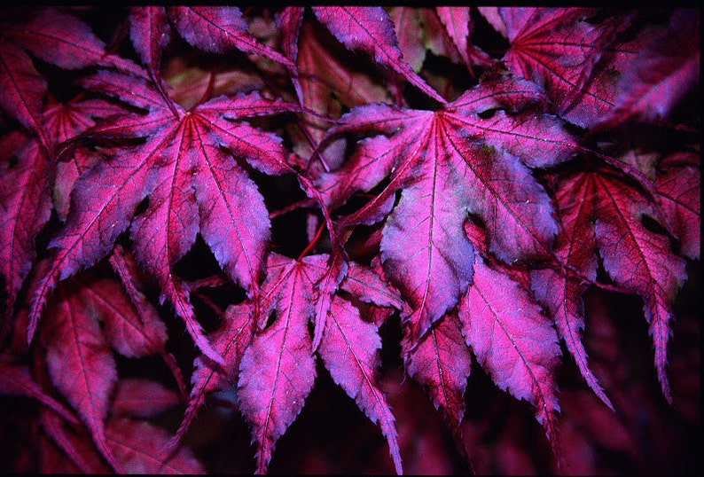 Purple Ghost Japanese Maple 1 Year Live Plant Etsy