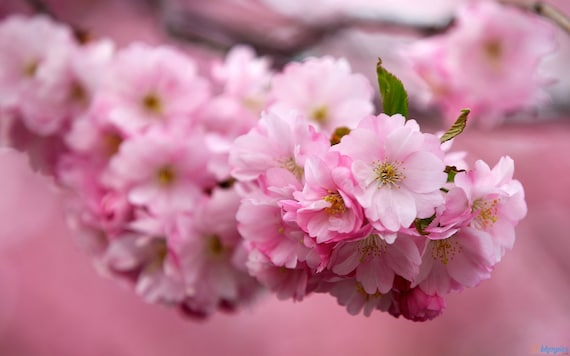 Kwanzan Cherry Tree Large Pink Double Flowers 3 Year Live Etsy