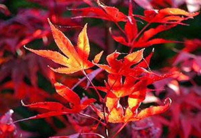 Fireglow Japanese Maple Beautiful Fire Red Foliage 4 Year Etsy