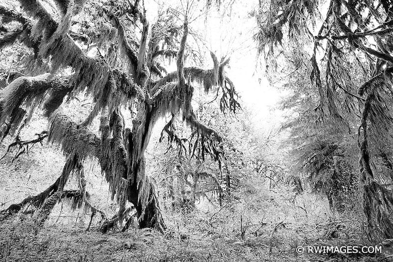 Pacific Northwest Hoh Rainforest Black and White forest Fine Art Photo Print Canvas Paper Metal or Acrylic Print Framed Wall Art