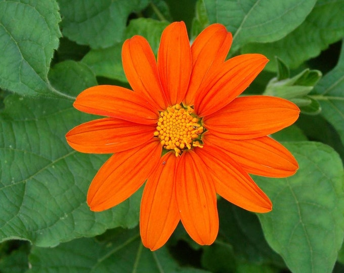 100 Mexican Sunflower Seeds. Tithonia rotundifolia. Chemical free. Combined Shipping & Handling.