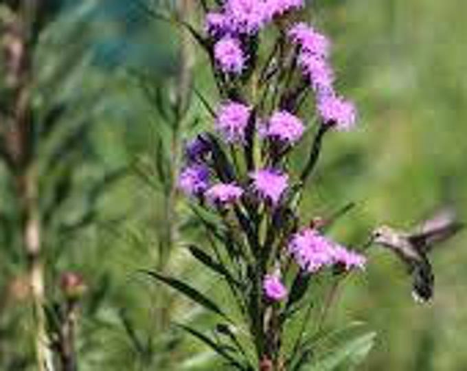 Meadow Blazing Star seeds. Liatris ligulistylis. Chemical free. Combined shipping & handling.