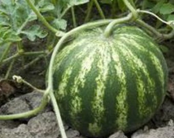 100 Sugar Baby Watermelon Seeds. Chemical Free. Non GMO.