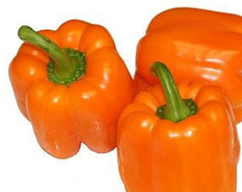 100 Orange Sun Sweet Bell Pepper Seeds. Chemical Free. Non GMO.