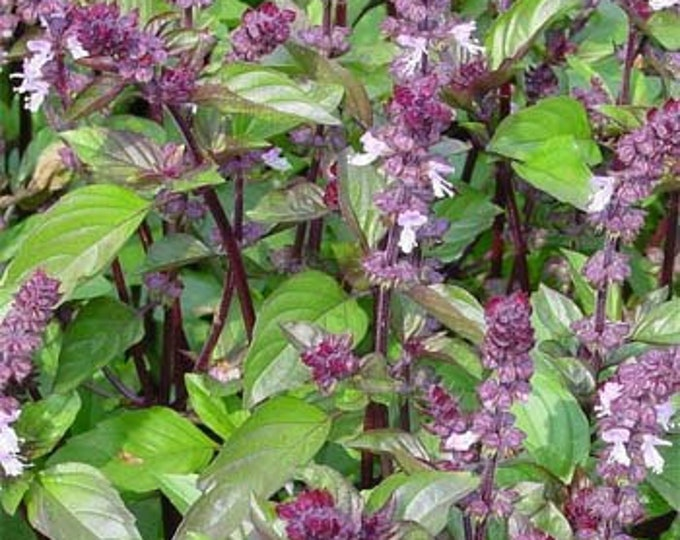 100 Cinnamon Basil Seeds. Non-GMO.
