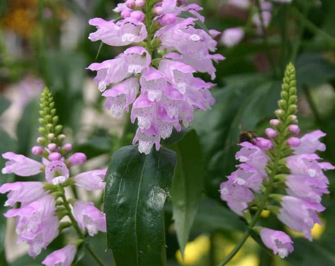 "3 Obedient Plant. 3.5"" containers. Physostegia virginiana.  Ships in August. FREE SHIPPING."