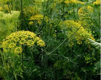 100 Dill seeds. Bouquet. Chemical free. Non GMO. Combined shipping & handling.