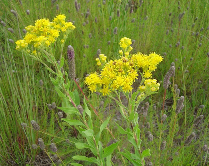 "3 Stiff Goldenrod Plants. 3.5"" Container. Solidago rigida. Ships in August. FREE SHIPPING."