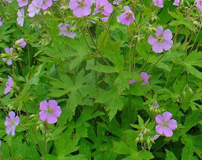 """Wild Geranium. Geranium maculatum. 2.5"""" container. (Pre-order for May Shipment)"""