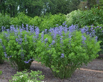 "False Blue Indigo plant. 2.5"" Container.  Baptisia australis. (Pre-order for May 2020)."