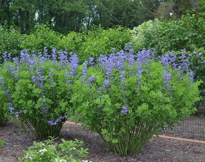"False Blue Indigo plant. 2.5"" Container.  Baptisia australis. (Pre-order for May 2020)."