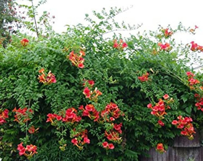 50 Red Trumpet Vine seeds / Campsis radicans