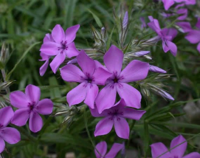 75 Prairie Phlox seeds. Phlox pilosa.